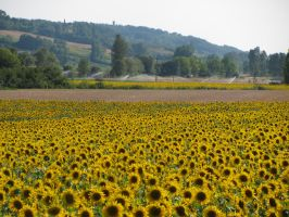 Sunflower Field by BecauseImFrench