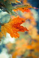 Maple leaf by BIREL