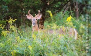 Buck of Gold Forest by DavidGold