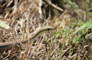 Yellow-faced Whip Snake by AaronJJenkins