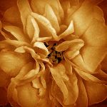Rose by markroutt