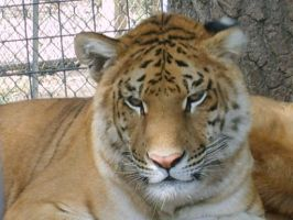Pretty LIGER at the zoo by PurpleSilkRoses