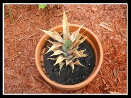 Potted Pineapple Plant by Me2Smart4U