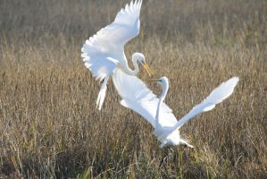Mortal Combat: Great Egrets 3 by Shadow848327
