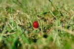 Strawberry in the Grass, 20130908 by TWAFE