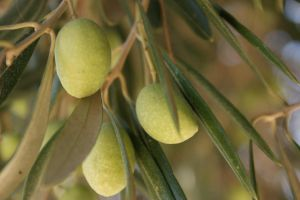 olives at the tree by picture-melanie
