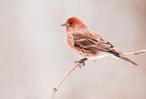 purple finch II by bad95killer