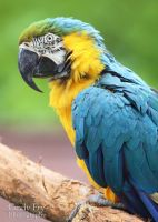 Blue and Gold Macaw by lost-nomad07