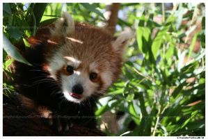 Red Panda Portrait II by TVD-Photography