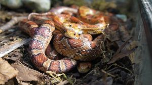 Cornsnake Bundle by DelinquentDog