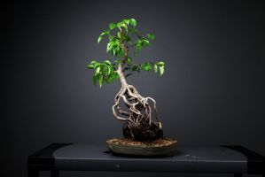 One of my bonsai - exposed root by jarodkearney