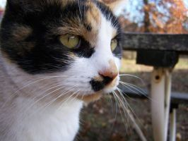 Calico Cat Closeup2 by effing-stock