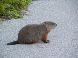 Groundhog 002 by presterjohn1