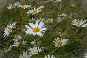Daisies by ninaheather