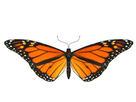 Butterfly Model 4 by Xanatos4