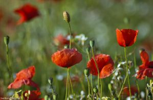Poppies by lori80