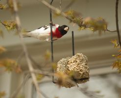 Male Rose-Breasted Grosbeak May - 2014 - 1 by toshema