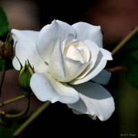 A White Rose for Alyssa by David-A-Wagner
