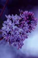lilacs by AriTester