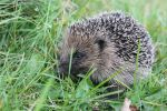 Hedgehog - in the grass by Steve-FraserUK