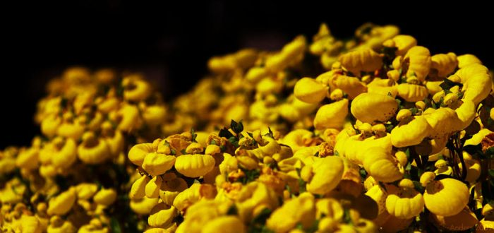 Sea of Yellow Bubbles by St--Anders