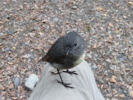 South Island Robin. by LiquidityImages