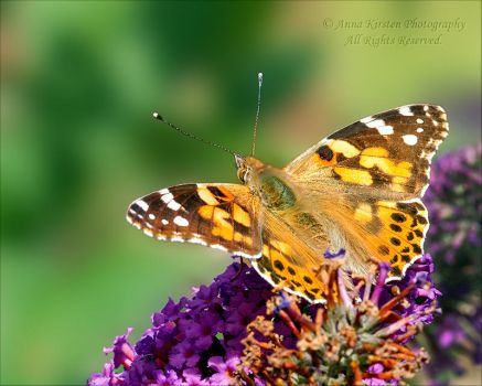 Painted Lady on Buddleia 2 by AnnaKirsten