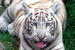 White Tiger Cub 3 by brijome
