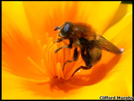 The Bee by Timaxe