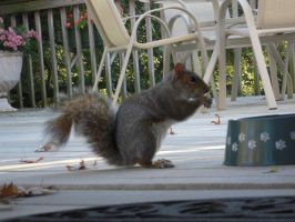 Squirrel: 1 by jr----fave-resources