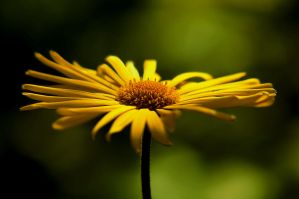yellows by AdrianaKH-75