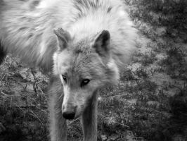 The Wolf Wonders by SprenklePhotography