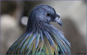 The Beautiful Nicobar Pigeon by SilkenWinds