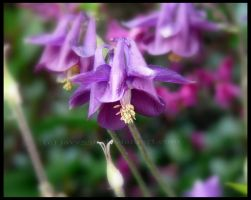 Columbine by javv556