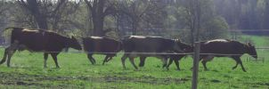 The Running of the cows by decors