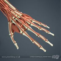 Muscular System 3D Model 05 by TheRealPlasticboy