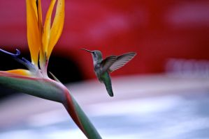 Humming Bird by WesHPhotography