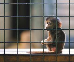 Baby Monkey at Edinburgh Zoo by kharashov