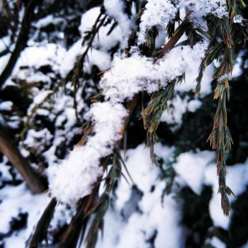 Snow on needles by DarthNojko