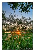 Cherry Orchard Sunset by Julian-Bunker