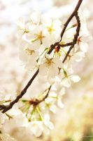 Cherry Blossoms 2012  -1- by Mechanical-Koi