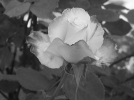 .Black and White Rose. by Zinx95