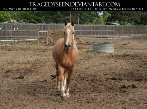 Palomino Stock 13 by tragedyseen