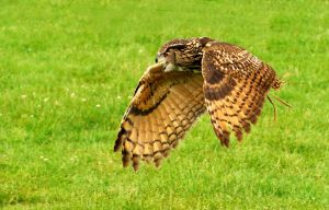 Eagle Owl Flight by Shadow-and-Flame-86