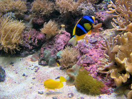 Blue and Yellow fish by Sherrys-Camera