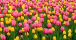 Tulips 1 by zaphotonista