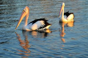 Sunset pelicans 1 by wildplaces