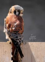 Kestrel by jamberry-song