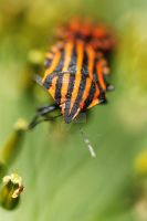 Graphosoma lineatum by K-O-U-D-Y