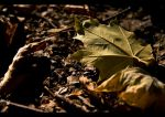 Maple Leaf 2 by M4t37